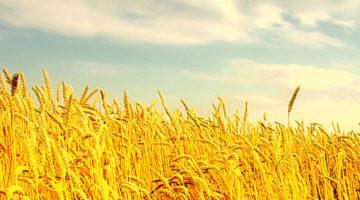 கோதுமை (Wheat)