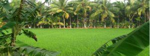 தென்னை மரம் (Coconut Tree)
