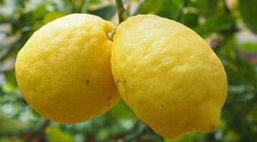 எலுமிச்சை (Lemon) சாகுபடி முறைகள் மற்றும் பயன்கள்
