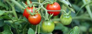 தக்காளி (Tomato)