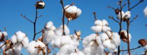பருத்தி (Cotton)