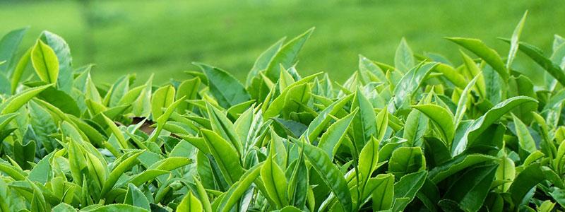 தேயிலை-Tea