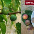 அத்திப்பழம் - Figs