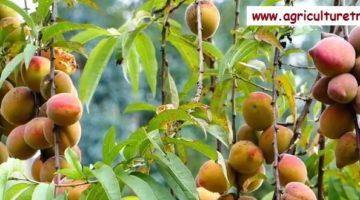 குழிப்பேரி (peach) சாகுபடி முறை மற்றும் பயன்கள்