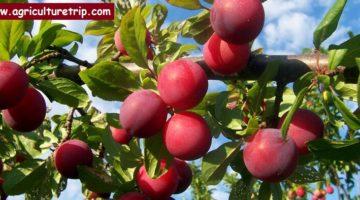கொத்துப்பேரி (plum) சாகுபடி முறை மற்றும் பயன்கள்