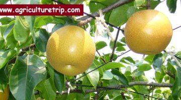 பேரிக்காய் (pear) சாகுபடி முறை மற்றும் பயன்கள்