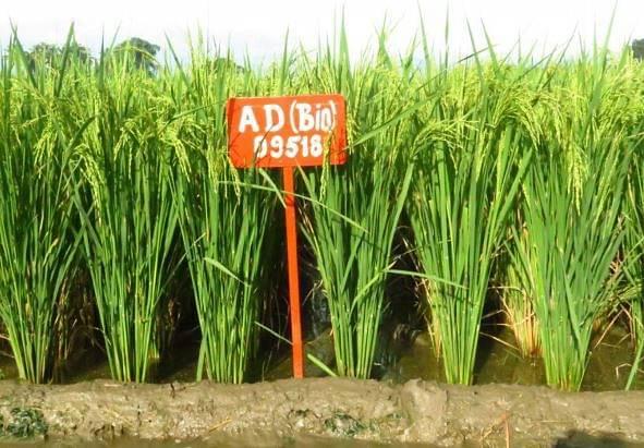 ஏடிடீ- 55 (நெல்)